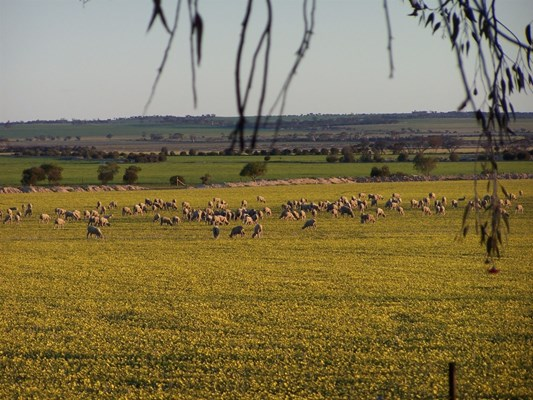 Mukinbudin - Sheep Grazing on Canola